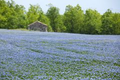 Blaues Flachsfeld Lizenzfreie Stockbilder