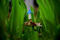 Blaues flover stockbild