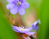 Blaues Frühling Wildflowerzusammenfassung liverleaf oder Liverwort Stockfotos