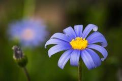Blaues Gänseblümchen stockfoto