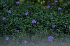 Blaues Gänseblümchen lizenzfreies stockbild