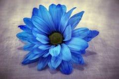 Blaues Gänseblümchen Stockbild