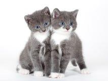Blaues gemustertes graues Kätzchen zwei getrennt Stockbilder