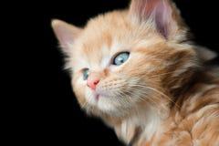 Blaues gemustertes Kätzchen Stockfotos