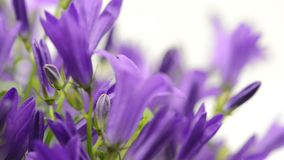 Blaues Glockenblumen Glockenblume poscharskyana im Gestellfokus stock footage