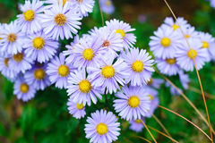 Blaues Gänseblümchen, blaues Gänseblümchen Stockfotografie