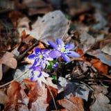 Blaues hepatica Lizenzfreies Stockfoto