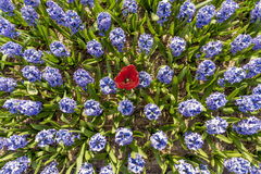 Blaues Hyacinthe-Birnenfeld Stockfoto