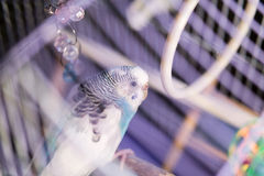 Blaues inländisches budgie sitzt im Birdcage Lizenzfreie Stockfotos