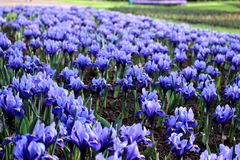 Blaues Irisfeld Lizenzfreies Stockbild