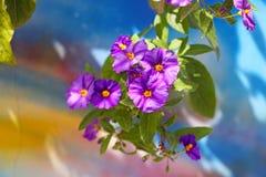 Blaues Kartoffelbusch Lycianthes-rantonnetii Stockbild