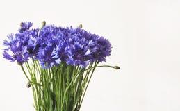 Blaues Kornblumebündel auf weißem Hintergrund lizenzfreie stockfotografie