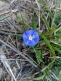 Blaues leckflower Stockbild
