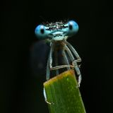 Blaues Libellegesicht Lizenzfreie Stockbilder