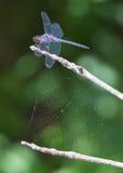 Blaues Libellen- und Spinnennetz Stockfoto