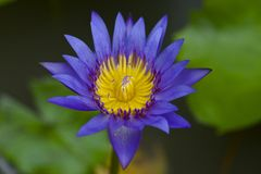 Blaues Lotus Stockfotografie