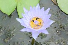 Blaues Lotus Stockbilder
