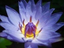 Blaues Lotus Lizenzfreies Stockfoto