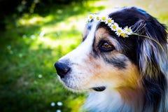 Blaues merle australischer Schäferhund mit Blumen auf seinem Kopf lizenzfreies stockfoto