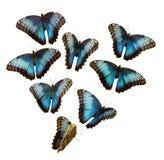 Blaues Morpho Lizenzfreie Stockbilder