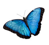 Blaues Morpho Stockfoto