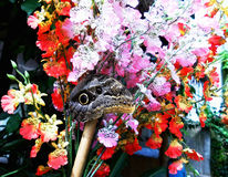 Blaues Morpho, großer Schmetterling Stockfotografie