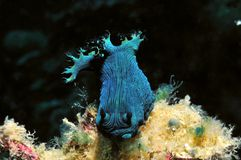 Blaues nudibranch Lizenzfreie Stockfotos