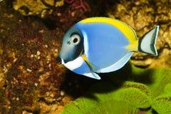 Blaues Pulver Tang im Aquarium Stockbilder