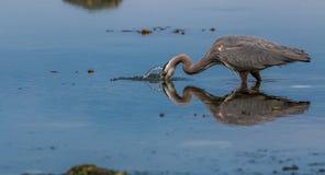 Blaues Reiher ` Ardea herodias ` Jagen und anziehende Fische stockfotografie