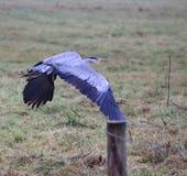 Blaues Reiher-Flugwesen Lizenzfreie Stockfotografie