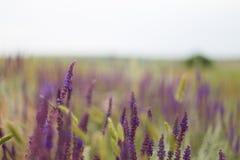 Blaues Salia-Feld Stockbilder