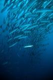 Blaues Sporttauchen des Makrelenbarracudakönigsfisch-Tauchers bunaken Indonesien-Ozean Lizenzfreie Stockbilder