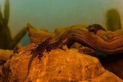 Blaues stachelige Eidechsen-Tier, Leben-Organismus, Reptilien stockfotos