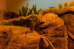 Blaues stachelige Eidechsen-Tier, Leben-Organismus, Reptilien lizenzfreie stockfotografie