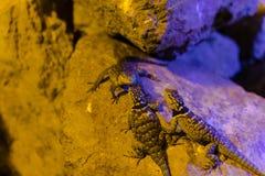 Blaues stachelige Eidechsen-Tier, Leben-Organismus, Reptilien lizenzfreie stockbilder