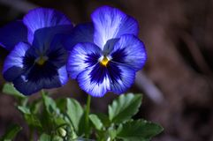 Blaues Stiefmütterchen Stockbild