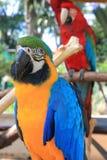 Blaues u. rotes Mecaw Stockbild