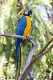Blaues und gelbes Keilschwanzsittich-Papagei, Aronstäbe ararauna, alias der Blau-und Goldkeilschwanzsittich Bali, Indonesien Lizenzfreies Stockbild