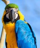 Blaues und gelbes Keilschwanzsittich-Papageiennahaufnahmeporträt Stockbild