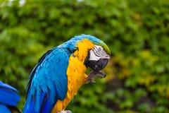 Blaues und gelbes parrot-2 Lizenzfreies Stockbild