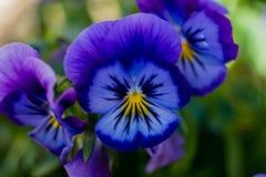 Blaues und purpurrotes Stiefmütterchen Stockfoto