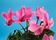 Blaues Veilchen des schönen Apfelblattes stockfotos