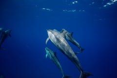 Blaues Wasser von Ozean mit Hülse von den Delphinen, die unter Wasser reisen stockfotos
