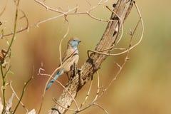 Blaues Waxbill (Uraeginthus angolensis) lizenzfreies stockfoto