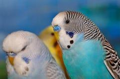 Blaues weißes und schwarzes budgie Stockfoto