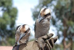 Blaues winged kookaburra Stockfoto