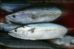 Blaufisch, SardaSarda auf blutigem Wasser Lizenzfreie Stockbilder