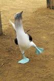 Blaufußtölpel lizenzfreies stockfoto