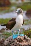 Blaufußtölpel auf Nord-Seymour Island, Galapagos-nationales PA stockfotografie