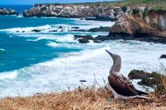 Blaufußtölpel, Ecuador Lizenzfreie Stockfotos